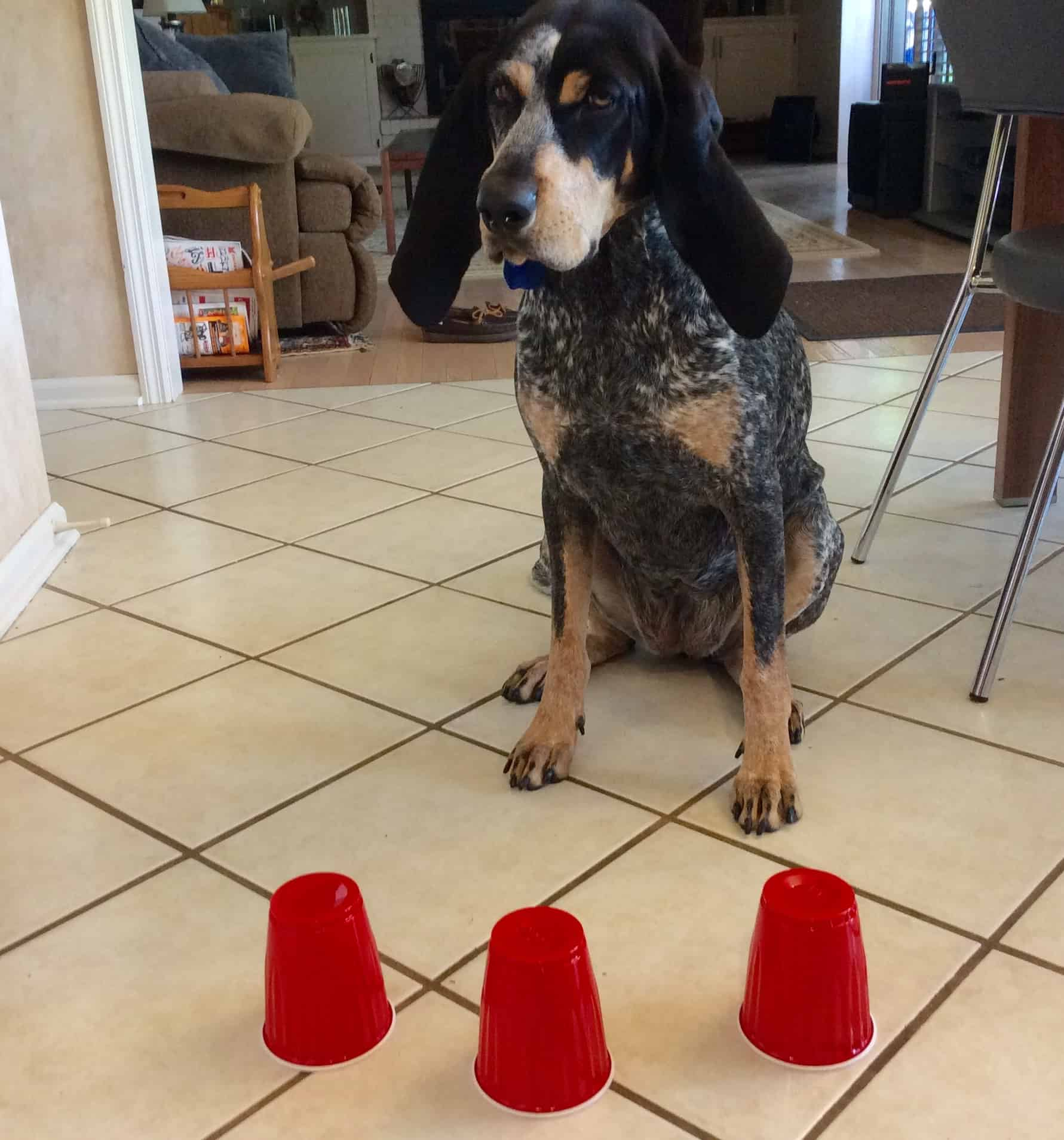 DOG TRICK Which cup? Acme Canine Dog hacks, Dogs, Canine