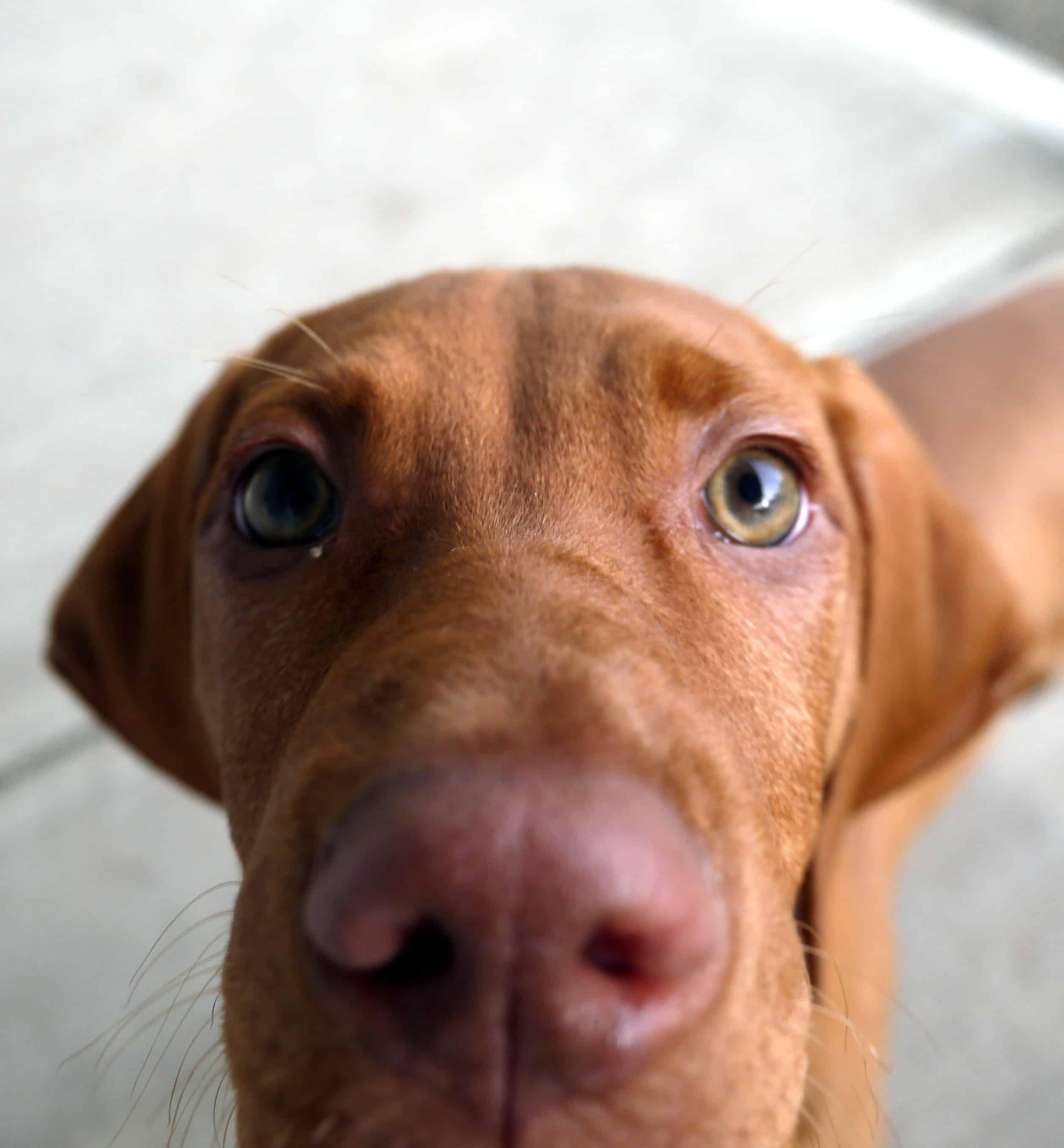 Canine Dog Breed