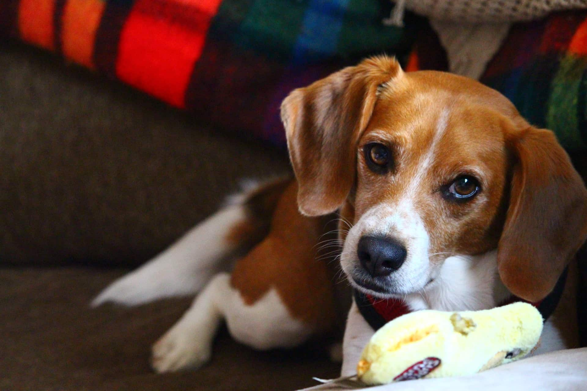 How To Crate Train A Beagle 7 Must Know Tips Acme Canine