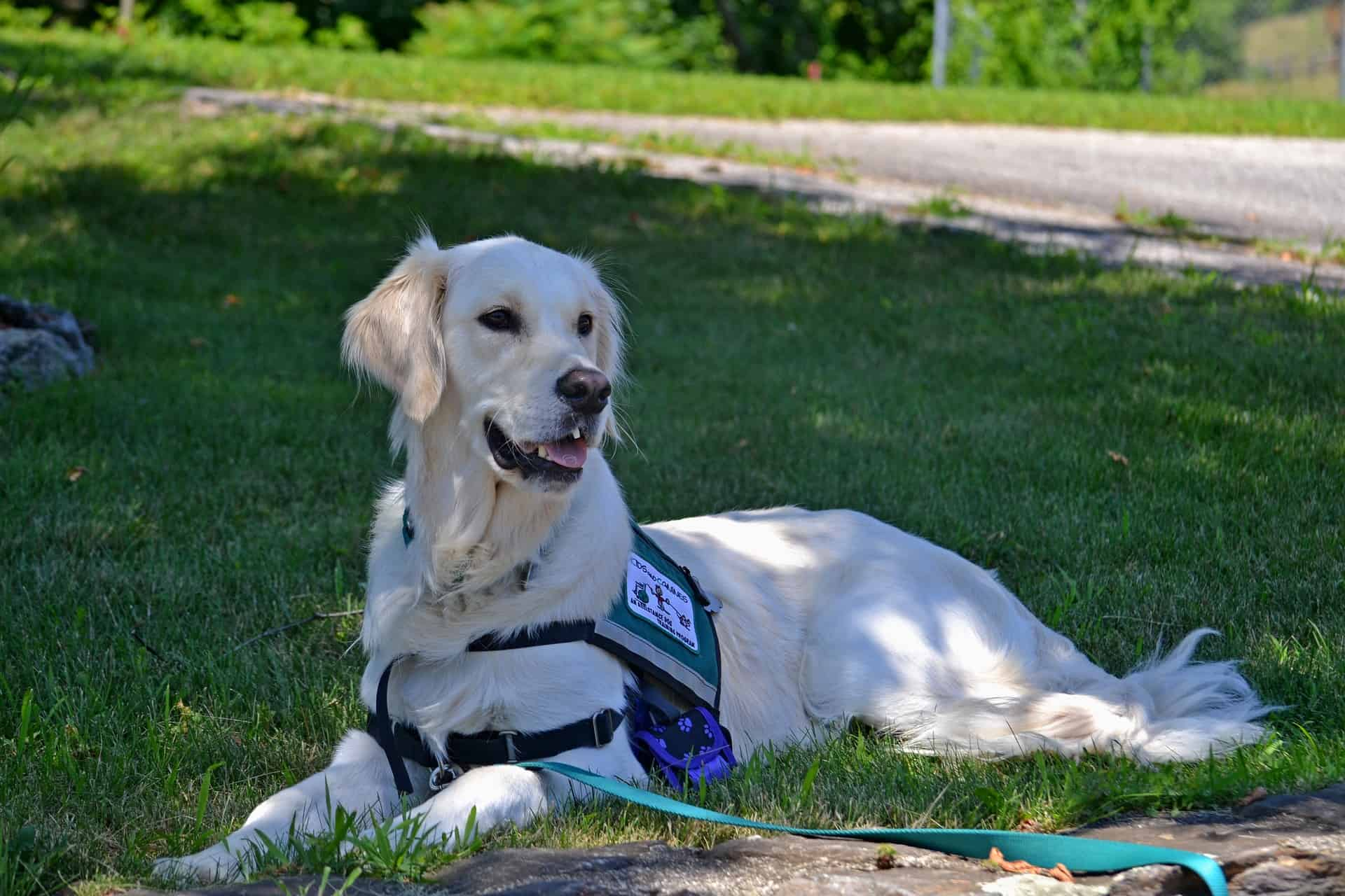 The Ultimate Guide To Service Dogs What They Are And How You Can Get One Acme Canine